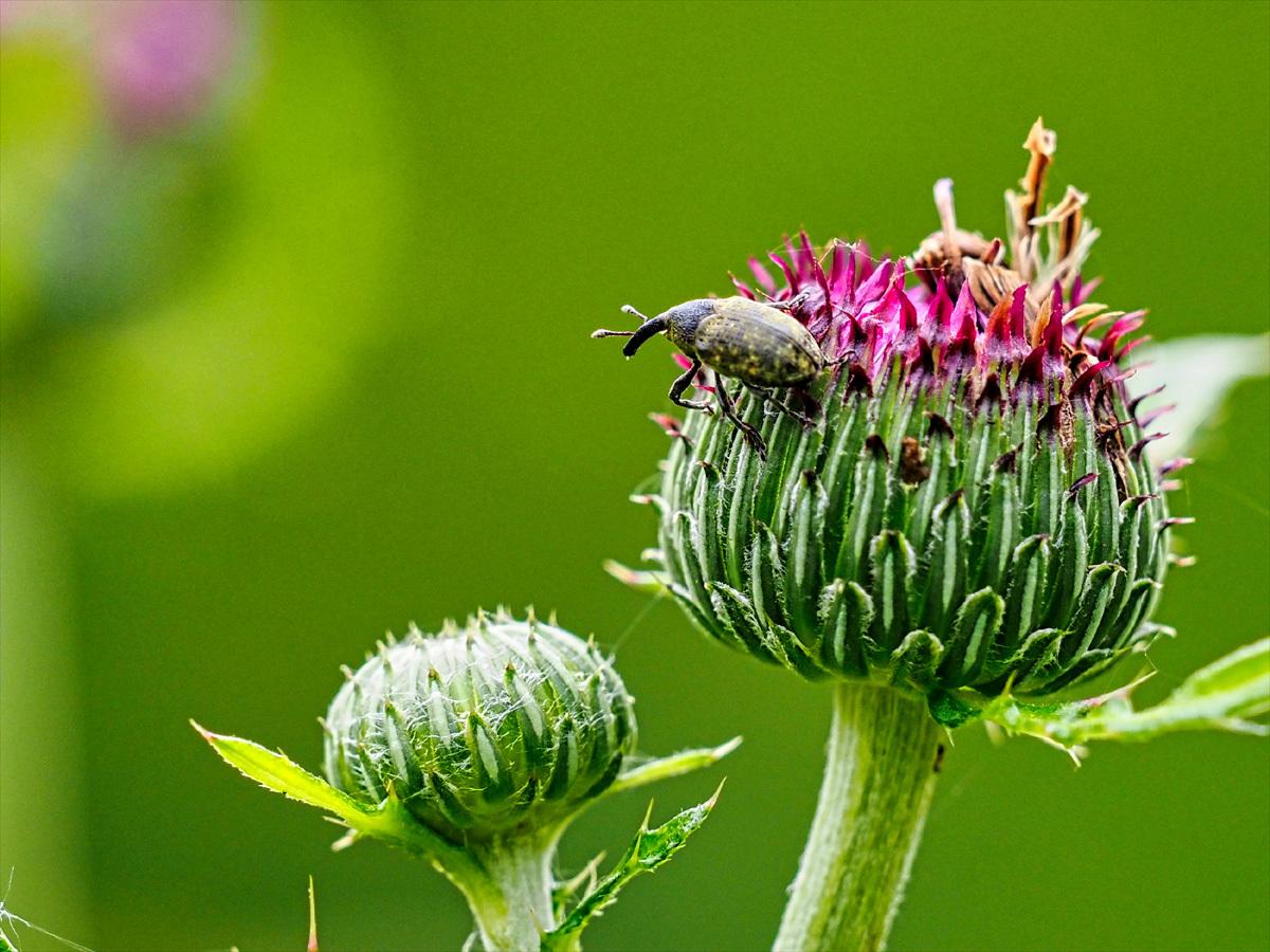 アザミの花に集う昆虫_d0283373_14035900.jpg