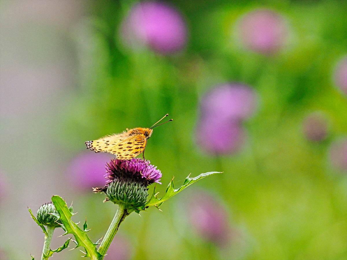 アザミの花に集う昆虫_d0283373_17103384.jpg