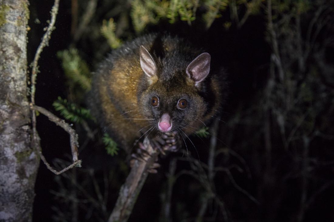 Brush-tail Possum フクロギツネ <タスマニア>_c0248100_23054839.jpg
