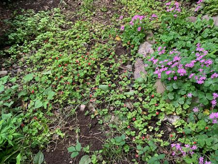 5月の庭 2020 - 2_f0239100_17423018.jpg