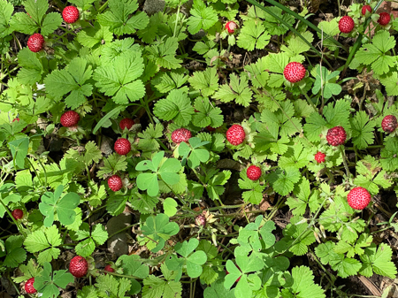 5月の庭 2020 - 2_f0239100_17495067.jpg