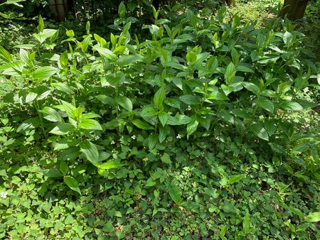 5月の庭 2020 - 2_f0239100_18081154.jpg