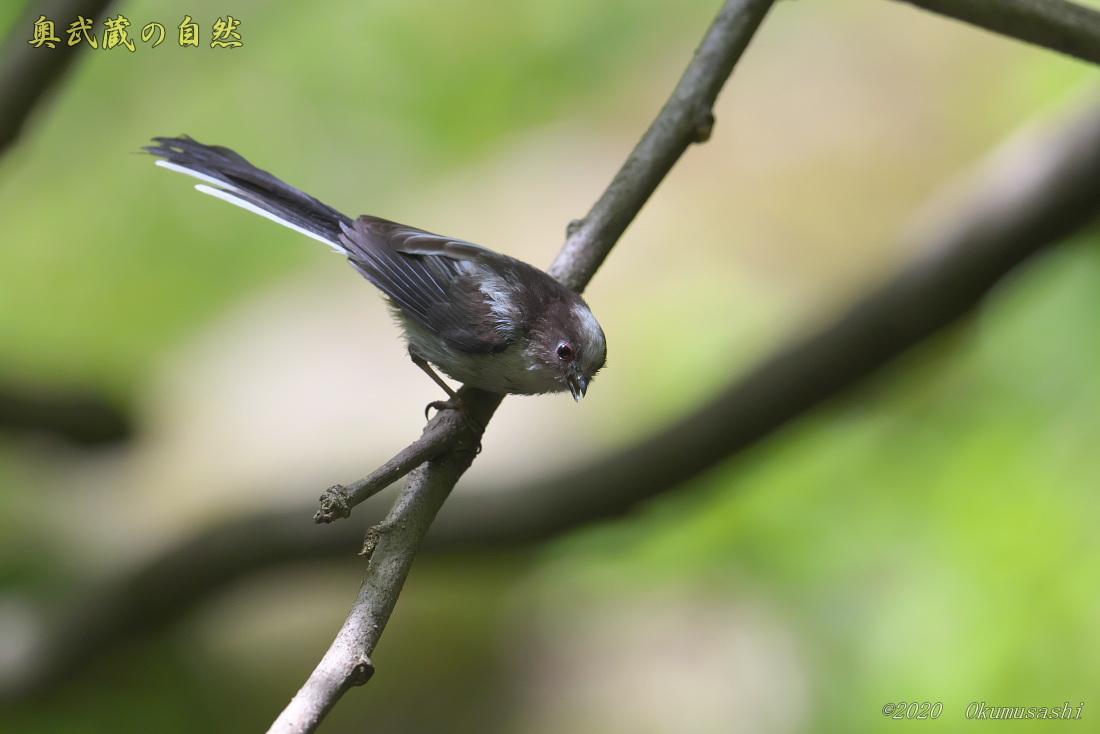 エナガ(幼鳥)_e0268015_18062451.jpg