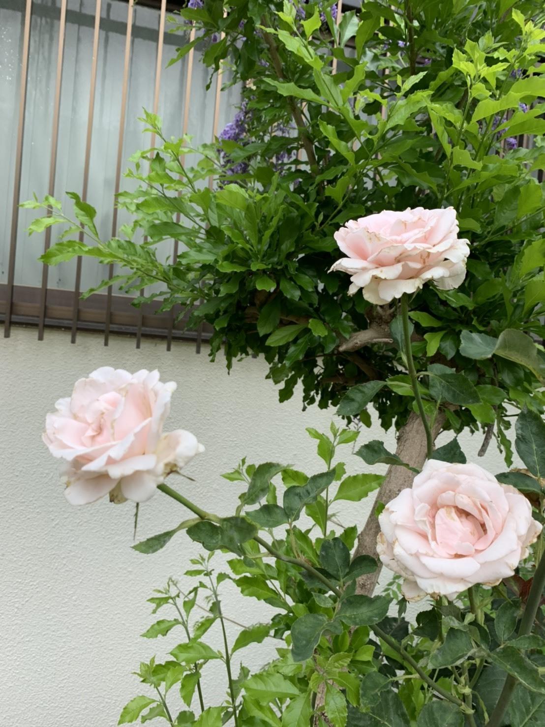 園庭にもたくさんのお花が咲きました!_d0053323_07545994.jpeg