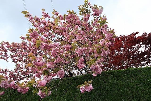 宝積院ボタン桜満開(撮影:4月18日)_e0321325_19263423.jpg
