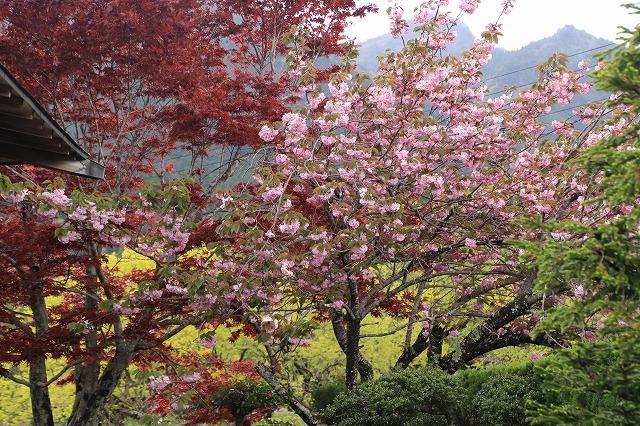 宝積院ボタン桜満開(撮影:4月18日)_e0321325_19264908.jpg
