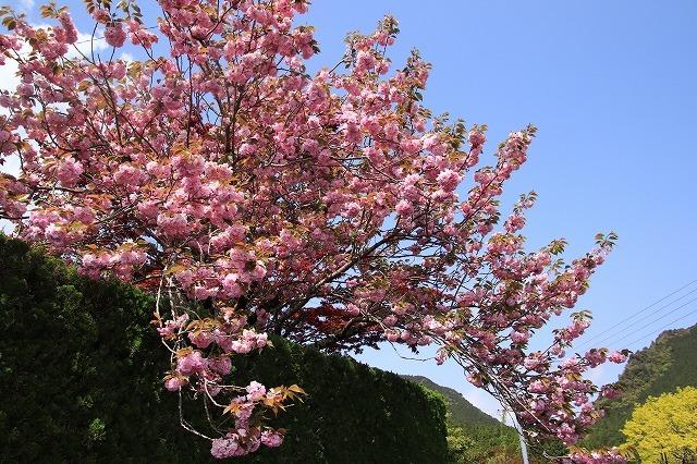 宝積院ボタン桜満開(撮影:4月18日)_e0321325_19270184.jpg
