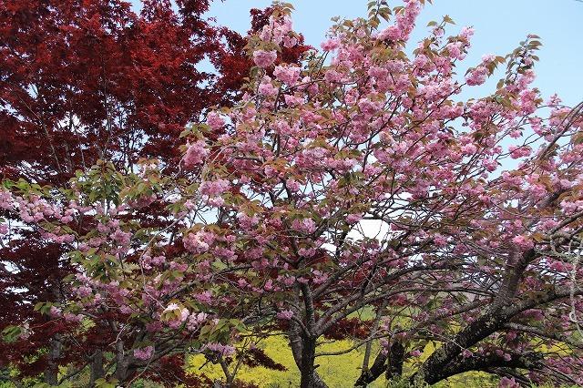 宝積院ボタン桜満開(撮影:4月18日)_e0321325_19271298.jpg