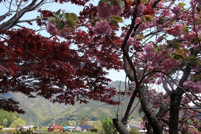 宝積院ボタン桜満開(撮影:4月18日)_e0321325_19272971.jpg
