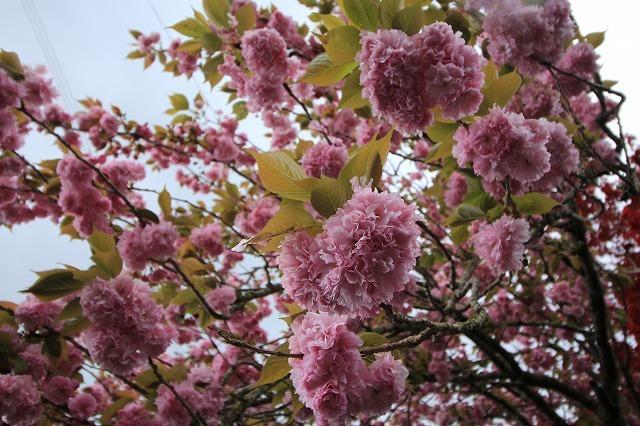 宝積院ボタン桜満開(撮影:4月18日)_e0321325_19275617.jpg