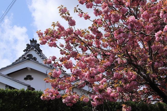 宝積院ボタン桜満開(撮影:4月18日)_e0321325_19280751.jpg