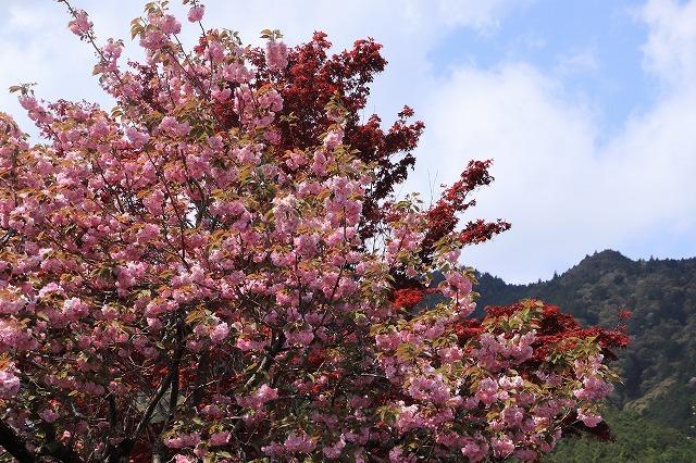 宝積院ボタン桜満開(撮影:4月18日)_e0321325_19282065.jpg