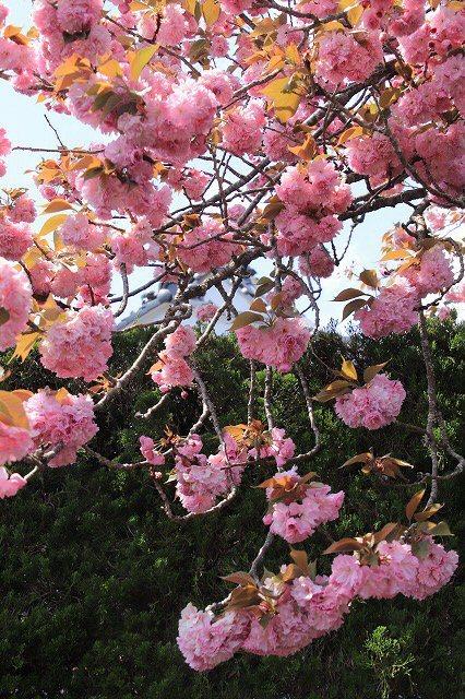 宝積院ボタン桜満開(撮影:4月18日)_e0321325_19283182.jpg