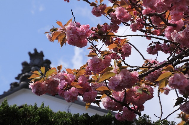 宝積院ボタン桜満開(撮影:4月18日)_e0321325_19284386.jpg