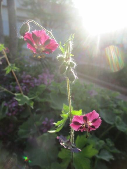 朝日を浴びて輝く黒花フウロソウ&トースター掃除_a0279743_11052454.jpg