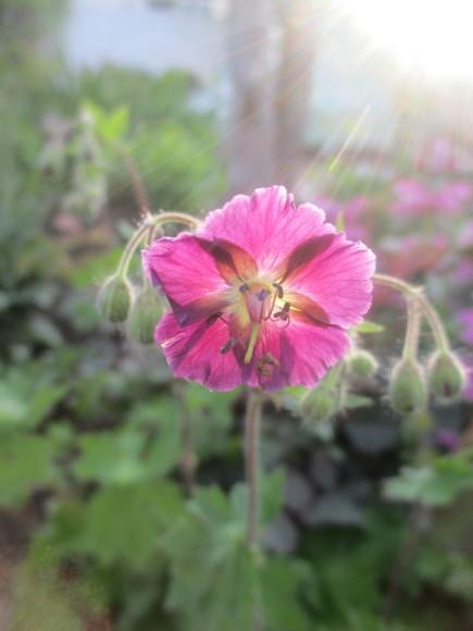朝日を浴びて輝く黒花フウロソウ&トースター掃除_a0279743_11053673.jpg