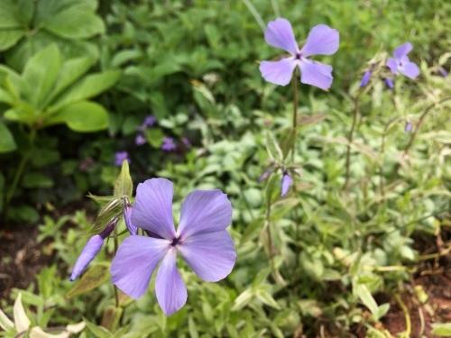 ゆっくり咲き出したお花たち_e0326953_15001332.jpg