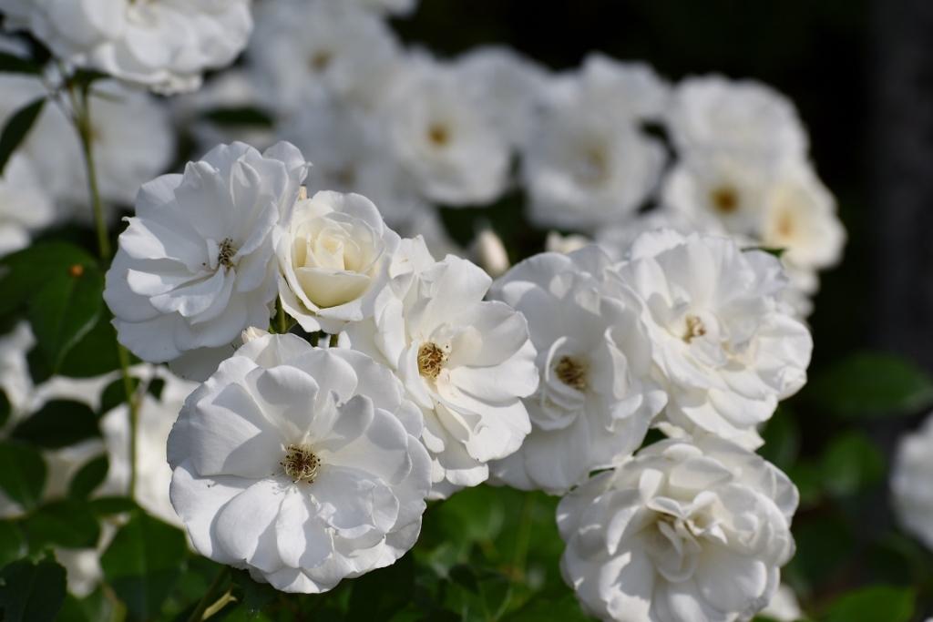 薔薇公園へ_a0355356_17422976.jpg