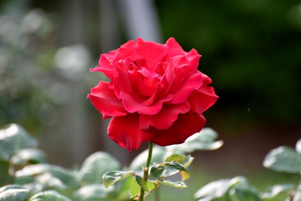 薔薇公園へ_a0355356_17425990.jpg