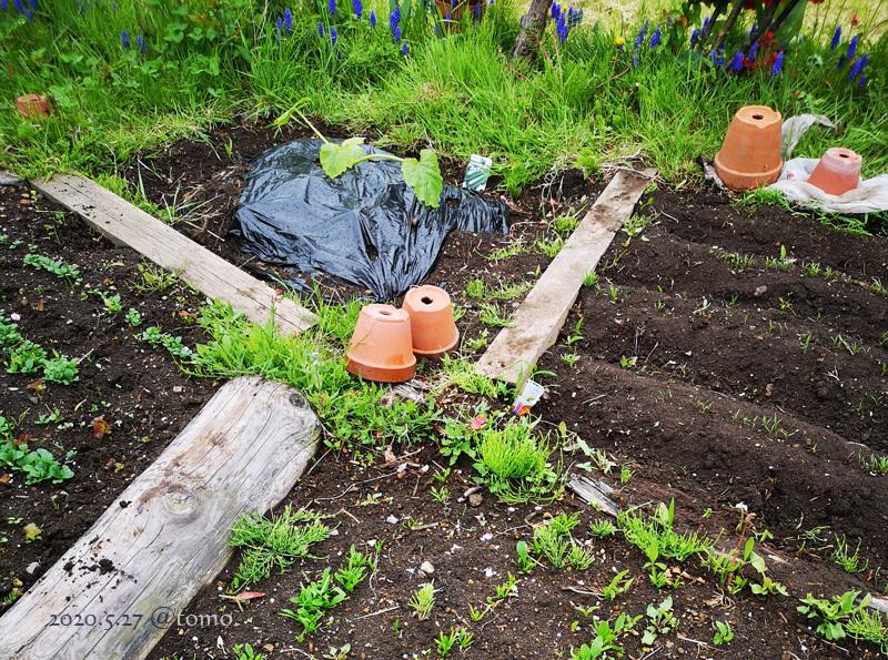 野菜畑に新芽が続々…むふふふ(^。^)_f0067179_00072999.jpg