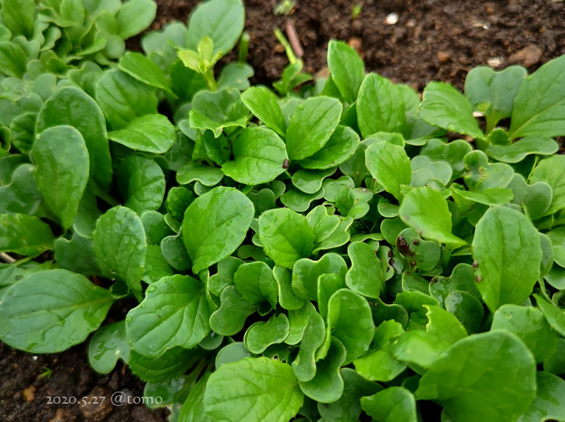 野菜畑に新芽が続々…むふふふ(^。^)_f0067179_13133042.jpg