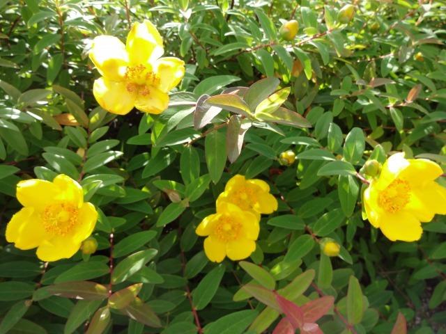 中川口緑地 キンシバイなど開花の様子R2.5.27_d0338682_08505302.jpg