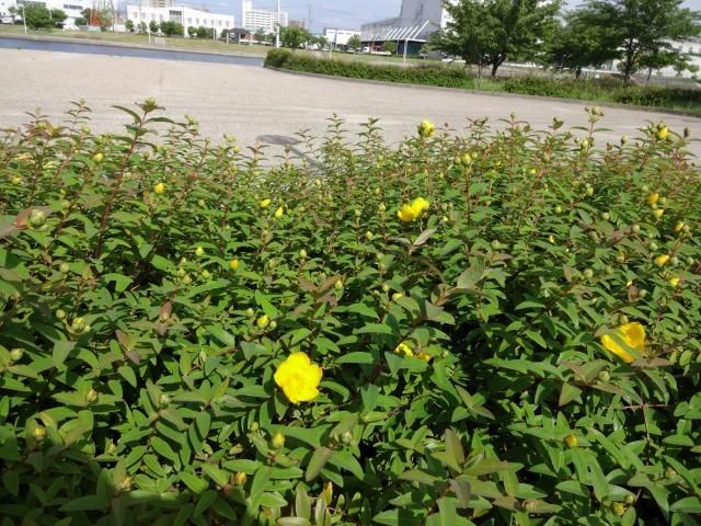 中川口緑地 キンシバイなど開花の様子R2.5.27_d0338682_08514680.jpg