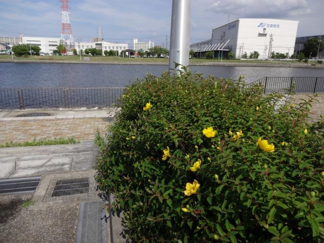 中川口緑地 キンシバイなど開花の様子R2.5.27_d0338682_08520203.jpg