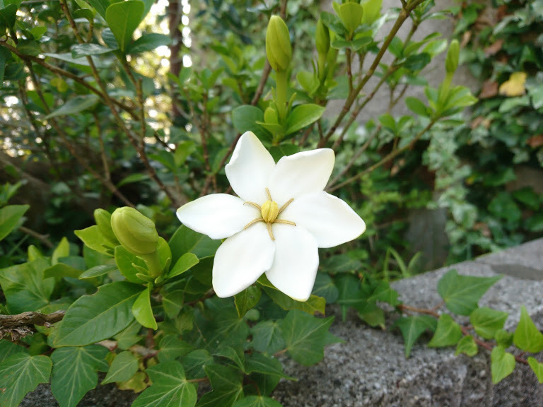 クチナシの花1号_f0197985_09311130.jpg