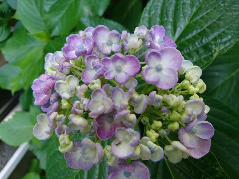 クチナシの花1号_f0197985_09313212.jpg