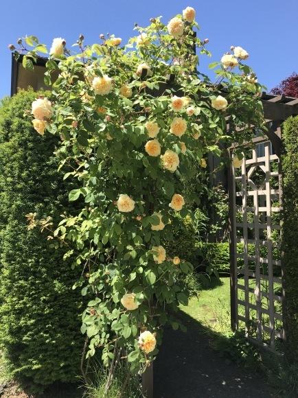 庭のバラが満開♪そして刺繍♪_d0129786_18180933.jpg