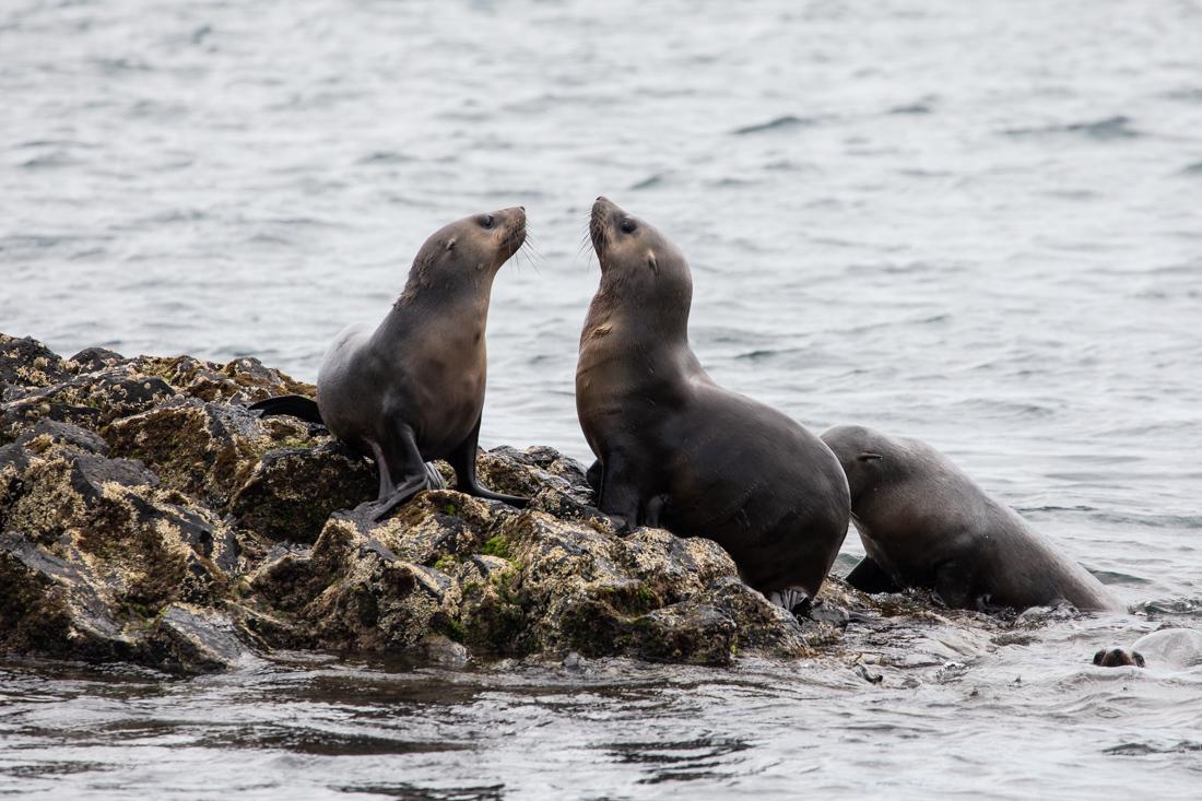 Australian Fur Seal 1 オットセイ <タスマニア>_c0248100_20042659.jpg