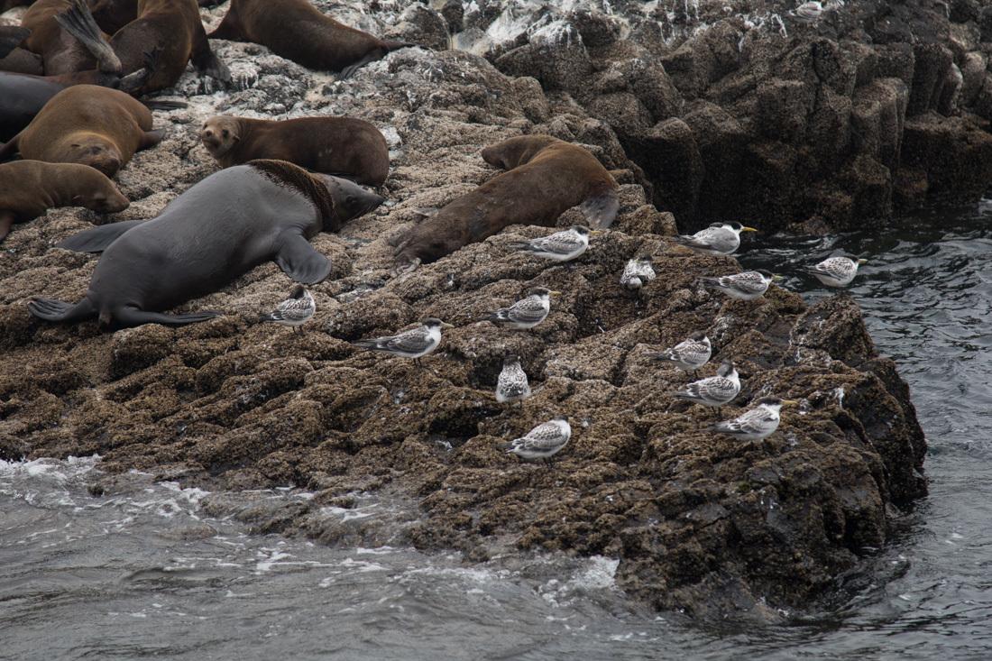 Australian Fur Seal 1 オットセイ <タスマニア>_c0248100_20042692.jpg