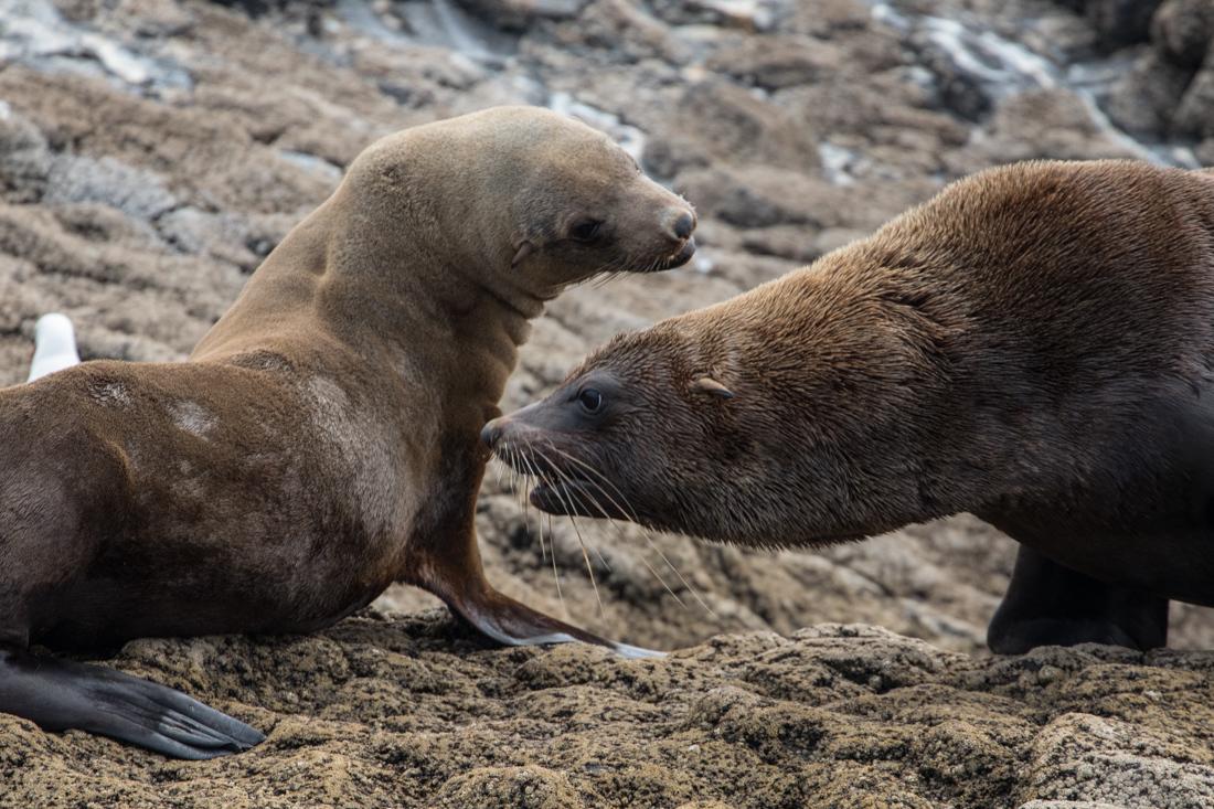 Australian Fur Seal 1 オットセイ <タスマニア>_c0248100_20062760.jpg