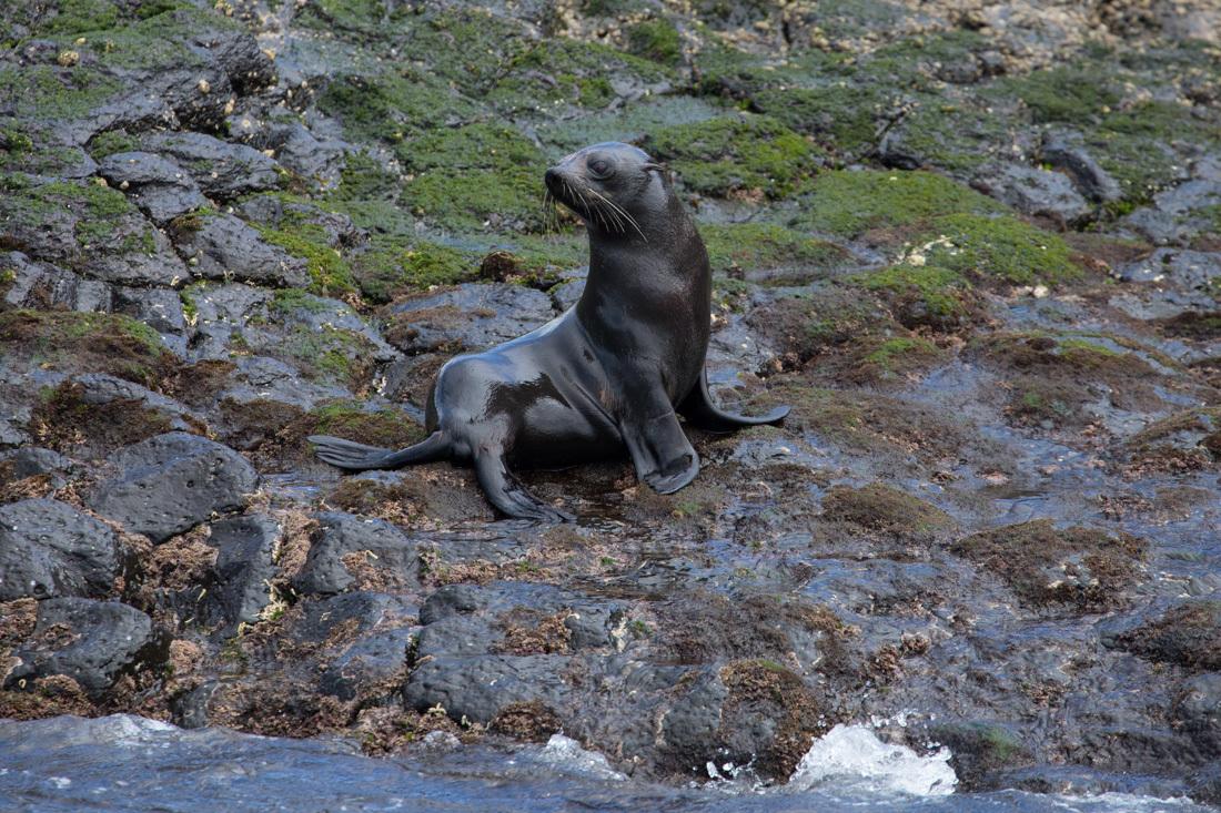 Australian Fur Seal 1 オットセイ <タスマニア>_c0248100_20062781.jpg