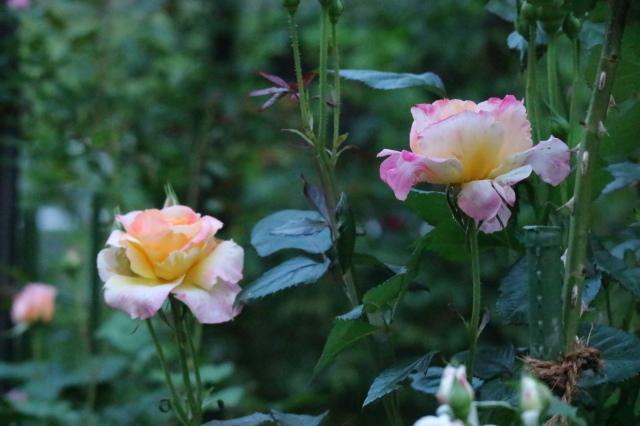 早起きをして庭活~♪_e0397815_23510399.jpg