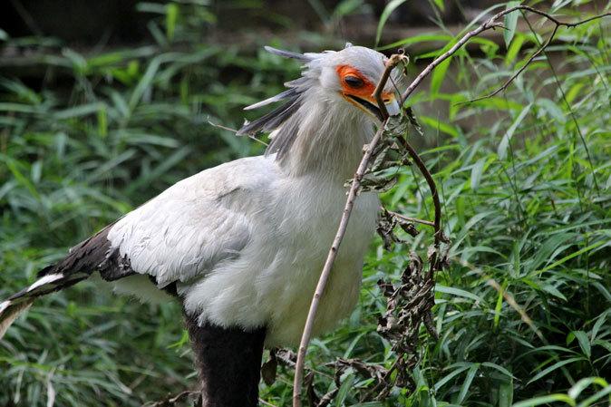 巣作りヘビクイワシ~鳥類ゾーンの希少な鳥たち(千葉市動物公園 June 2019)_b0355317_22215336.jpg