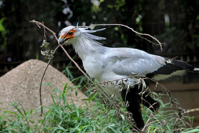 巣作りヘビクイワシ~鳥類ゾーンの希少な鳥たち(千葉市動物公園 June 2019)_b0355317_22232076.jpg
