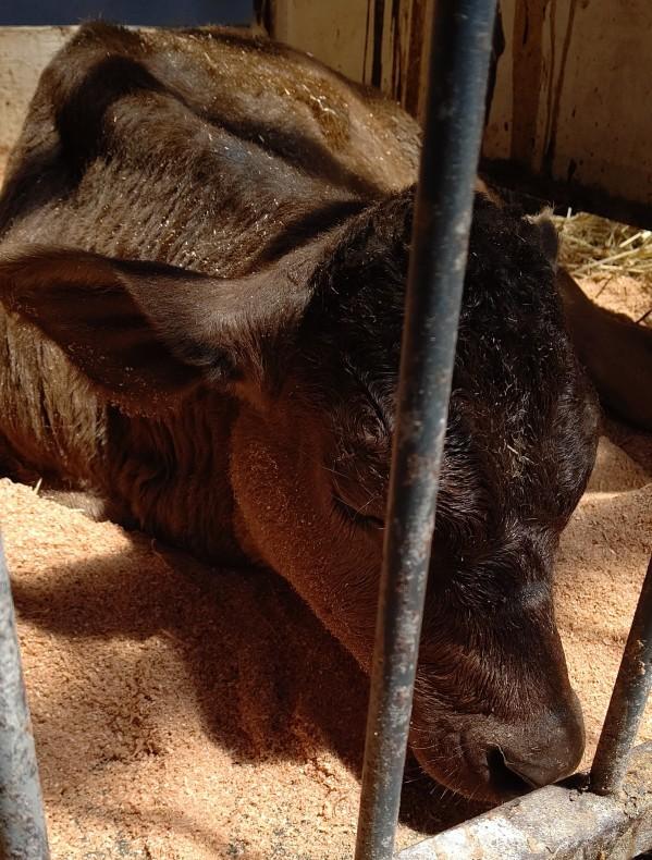 牛さんたちのスヤスヤタイム_c0126281_11183448.jpg