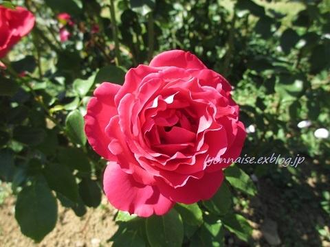 テットドール公園のバラは・・・_c0186684_05103630.jpg