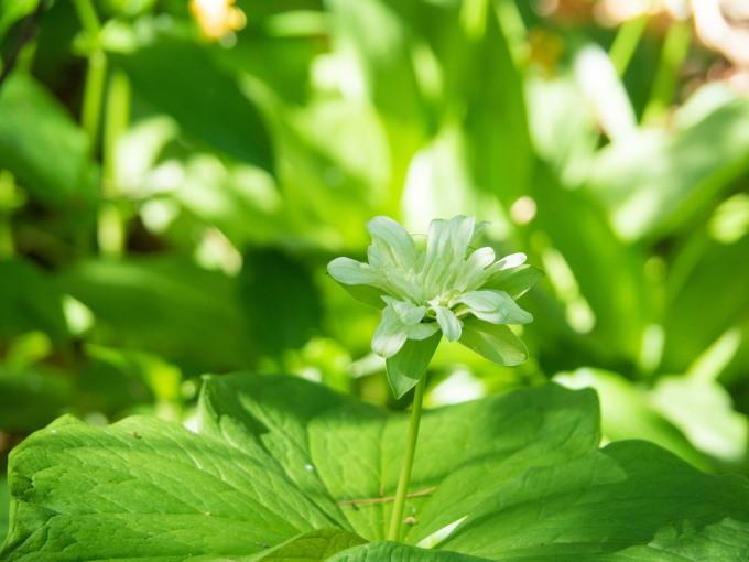 """""""奇形のオオバナノエンレイソウ""""今年も元気に咲き始めました。_f0276498_16575506.jpg"""