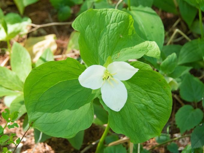"""""""奇形のオオバナノエンレイソウ""""今年も元気に咲き始めました。_f0276498_16580900.jpg"""