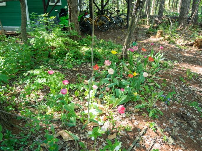 """""""奇形のオオバナノエンレイソウ""""今年も元気に咲き始めました。_f0276498_16585657.jpg"""
