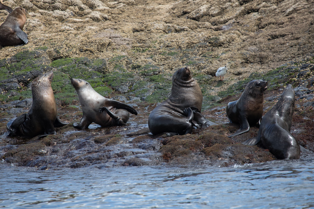 Australian Fur Seal 2 オットセイ <タスマニア> _c0248100_19184070.jpg