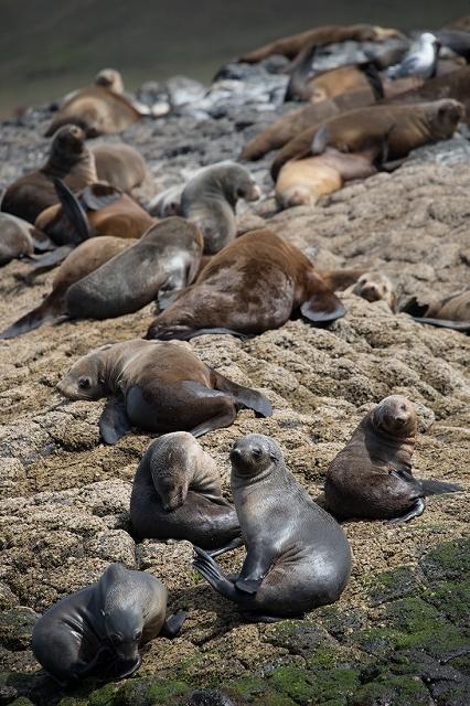 Australian Fur Seal 2 オットセイ <タスマニア> _c0248100_19184238.jpg