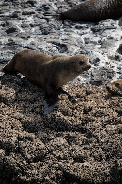 Australian Fur Seal 2 オットセイ <タスマニア> _c0248100_19204675.jpg