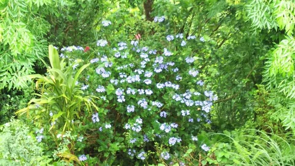5月31日 甘茶の花が咲いて。_a0204408_19514809.jpg