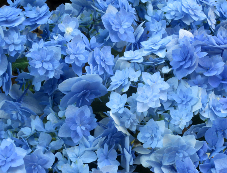 ■「歌は水に溶けてゆき そこだけ水色/幸せを守るのではなく 分けてあげる」──松崎ナオ、そして見事な水色の花は「早すぎた恋」なのか_d0190217_21291034.jpg