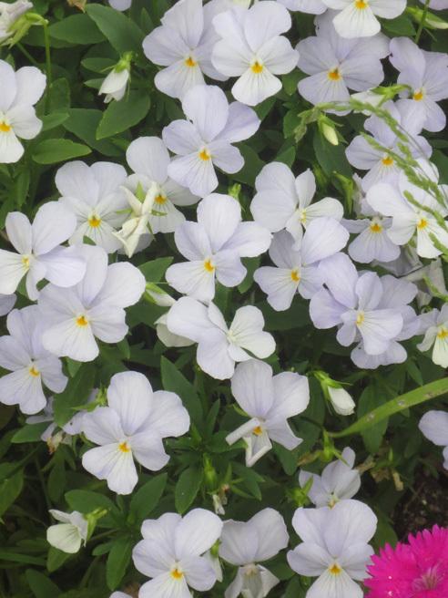 ■「歌は水に溶けてゆき そこだけ水色/幸せを守るのではなく 分けてあげる」──松崎ナオ、そして見事な水色の花は「早すぎた恋」なのか_d0190217_21341892.jpg