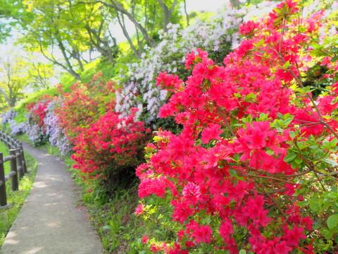 茶臼山公園のつつじ(大鰐町)*2020.05.26_b0147224_18485828.jpg